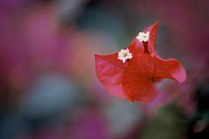 Foto 6 Rød blomst 30x20cm 8bit200dpi AdobeRGB